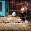 Thumbnail image for For the Love of Backyard Chickens