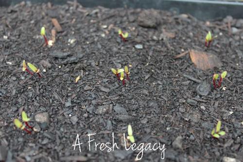 spring planting vegetable garden