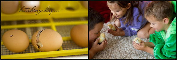 Small Potatoes for Childhood 101 - raising chickens - hatching
